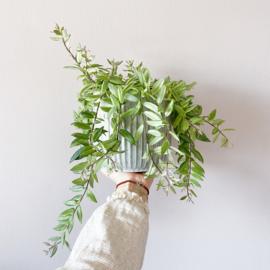 Aeschynanthus variegata
