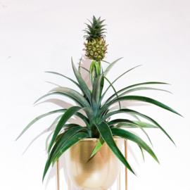 Bromelia ananas 'corona'