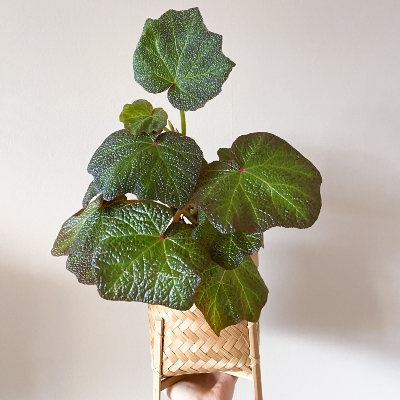 Begonia boomer