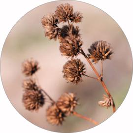 Muurcirkel | Dried flower