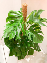 Monstrera Pertusum