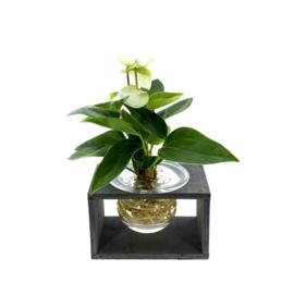 LOFE - Flower Jewel - Arthurium in glas met houder