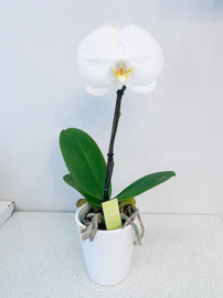 Witte orchidee + pot