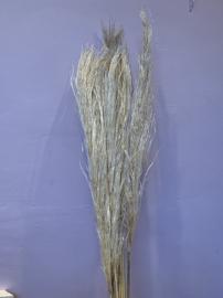 Cortaderia gras - naturel