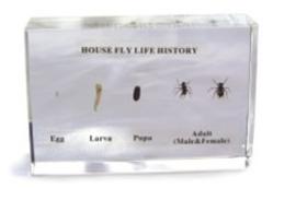 Levencyclus van de huisvlieg