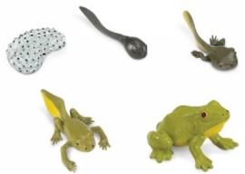 Kikker levenscyclus