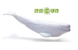 Beluga walvis Recur
