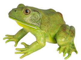 Bullfrog  S268729