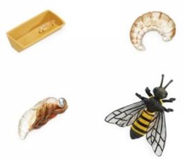 Honingbij  levenscyclus S622716