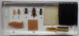 Honingbij ingietsel groot