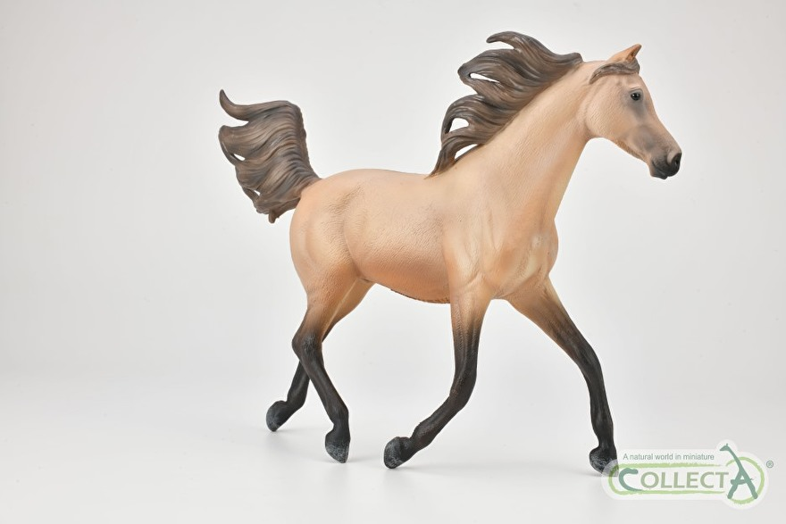 Half Arabian Stallion collecta 2021