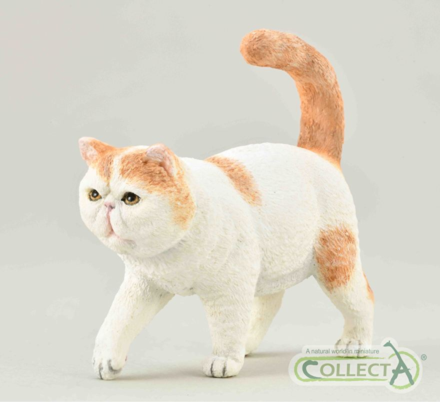 Exotic shorthair collecta 2021