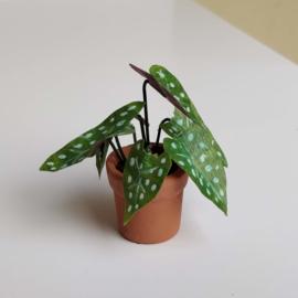 Large Begonia