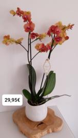 Bohémien orchidee