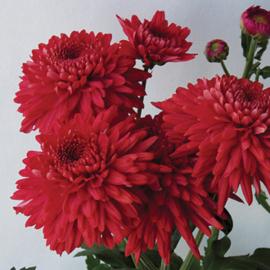 Snijchrysant Gompie Red