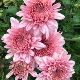 Snijchrysant Gompie Pink