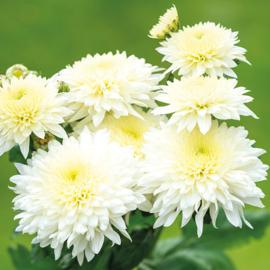 Snijchrysant Gompie White