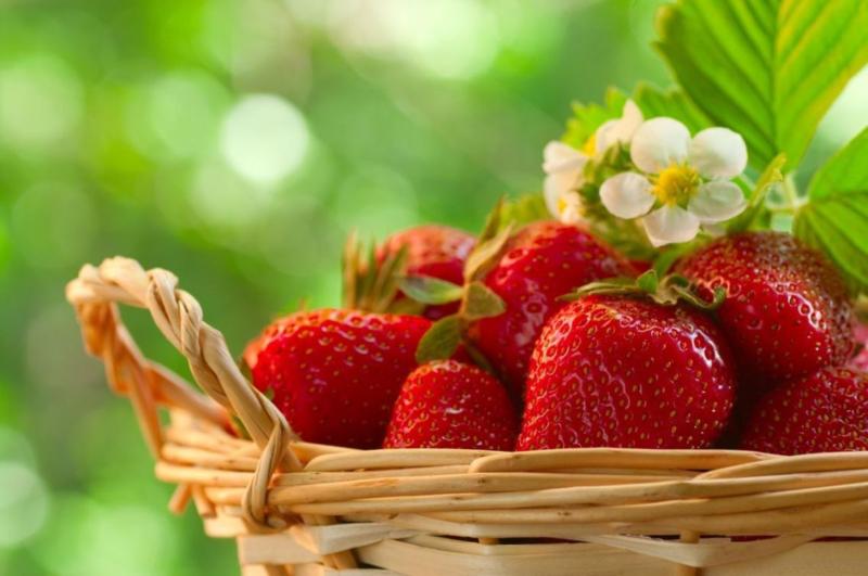 Senga sengana aardbeiplanten