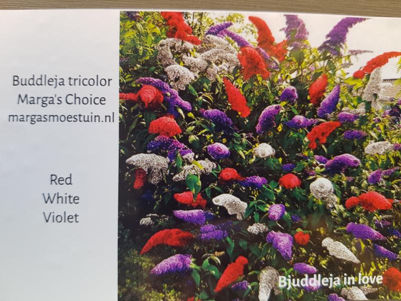 Buddleja tricolore Marga's Choice